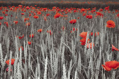 Poppies in a field. In black and white and  only red remaining Stock Photography