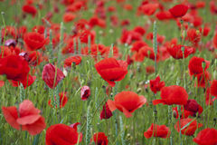 Poppies on a field Stock Photos