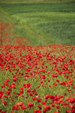 Poppies on a field Stock Photo
