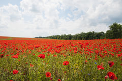 Poppies on a field Royalty Free Stock Photography