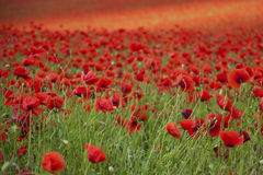 Poppies on a field Royalty Free Stock Photos