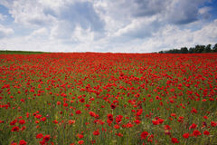 Poppies on a field Royalty Free Stock Image