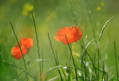 Poppies in the field. Closeup of red poppies on cereal field in Provence stock photos