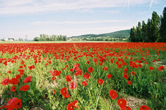 Poppies field 3. Big poppies field Royalty Free Stock Photo