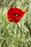 Poppies in the field. A poppies in the field Royalty Free Stock Photos