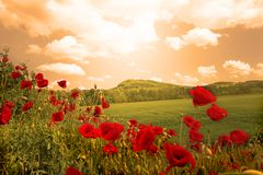 Poppies field. Digital photo of a field of poppies with colored clouds Royalty Free Stock Photos
