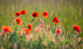 Free Poppies Field Royalty Free Stock Images - 55421909