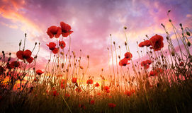 Free Poppies Field Stock Photography - 64576352