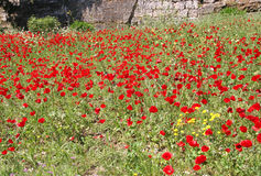 Poppies in a Field Royalty Free Stock Image
