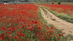Poppies field. Red poppies field Royalty Free Stock Photography