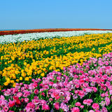 Poppies  field. Great vivid poppies  field at springtime Stock Image