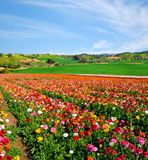 Poppies  field. Great vivid poppies  field at springtime Stock Photo