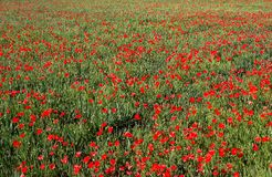 Poppies field. Poppies and wheat field Royalty Free Stock Images