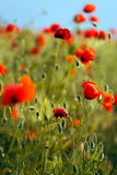 Poppies field Royalty Free Stock Photography