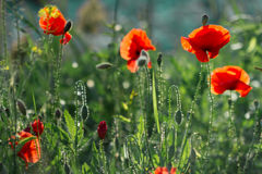 Poppies in the field. At back sunset light Royalty Free Stock Photos