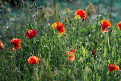 Poppies in the field. At back sunset light Stock Photography