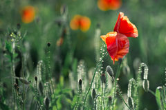 Poppies in the field. At back sunset light Stock Image
