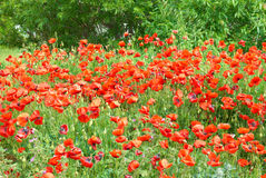 Poppies on the field. Field of beautiful red poppies with green grass Stock Photo
