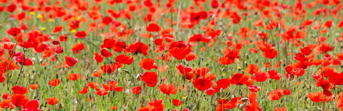 Poppies in Field (2) Stock Image