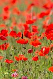 Poppies in Field (3) Royalty Free Stock Photos