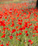 Poppies in Field (4) Royalty Free Stock Image