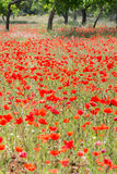 Poppies in Field (5) Royalty Free Stock Photos