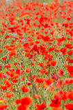 Poppies in Field (6) Royalty Free Stock Photography