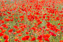 Poppies in Field (7) Royalty Free Stock Images