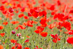 Poppies in Field (8) Royalty Free Stock Image