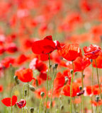 Poppies in Field (9) Royalty Free Stock Image