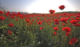 Poppies' Field Stock Photography