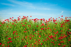 Poppies Field and blue sky Royalty Free Stock Photo