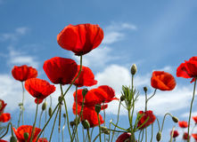 Poppies. Field on blue sky and clouds background stock image