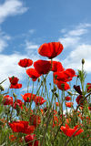 Poppies. Field on blue sky and clouds background royalty free stock image
