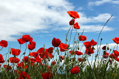 Poppies. Field on blue sky and clouds background stock photos