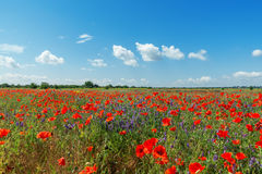 Poppies field and blue sky with clouds Stock Photos