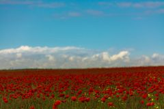 Poppies field and blue sky stock images