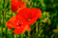 Poppies in the field royalty free stock images