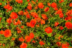 Poppies in the field. A field bouquet in the wild, lots of poppies in high grass stock image