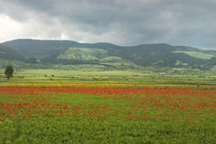 Poppies field. Bright poppies field after rain Stock Photos
