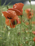 Poppies field. Field of poppies on a bright summer Royalty Free Stock Photo
