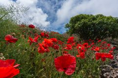 Poppies field and bush in the background stock images