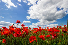 Poppies in the field. And cloudy sky Royalty Free Stock Images