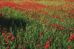 Poppies field. Colorful landscape photo for background or wallpaper with deep green and red color Royalty Free Stock Photos