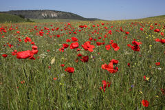 Poppies field in Crimea. Spring royalty free stock photo