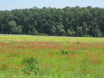 Poppies field Croatia Stock Photo