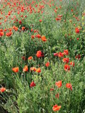 Poppies in field edge. May 2014 Royalty Free Stock Images