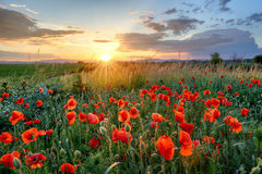 Poppies field flower on sunset royalty free stock photos