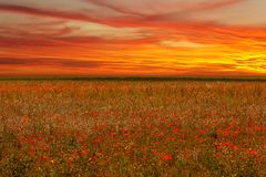 Poppies field flower on sunset royalty free stock photo