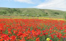 Poppies. Fields in Crimea. Ukraine. Royalty Free Stock Photo